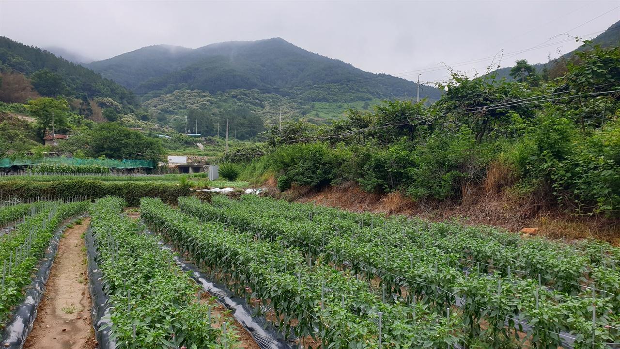 광양 사라실 마을 풍경. 산골짜기 밭에 고추와 키위가 많이 심어져 있다. 비가 잠시 갠 지난 6월 13일이다.