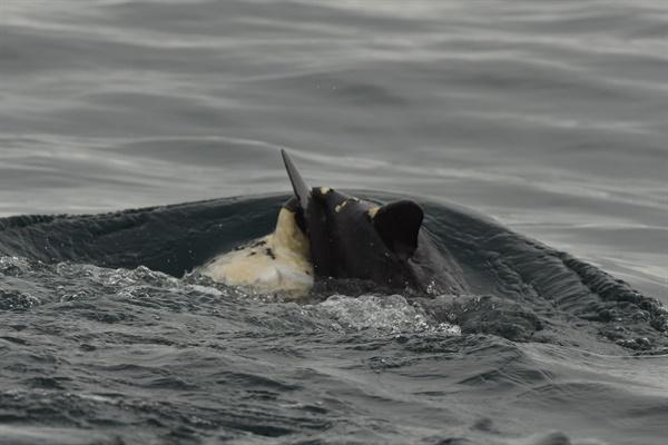 26일 해양수산부 국립수산과학관 고래연구센터가 공개한 사진. 지난 11일 생태조사 과정에서 촬영했다. 제주   어미 남방큰돌고래가 죽은 새끼를 등에 업고 유영하고 있다.