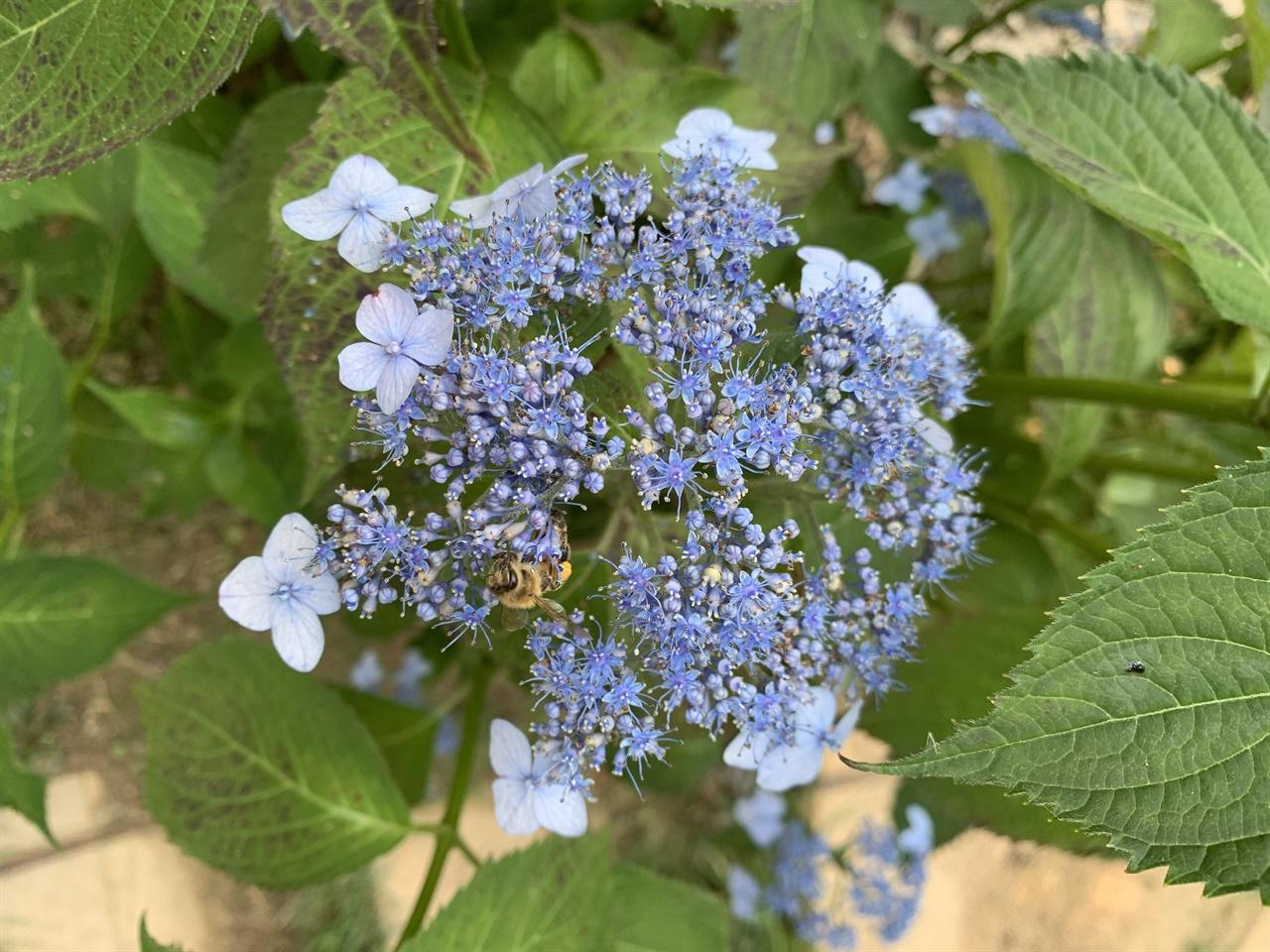 산수국의 가꽃 진꽃  산수국은 꽃가루와 알세포가 없는 가꽃을 피워 벌을 유인한다. 우리가 흔히 꽃이라 생각하는 부분이 가꽃이고, 안쪽에 자글자글 피어있는 부분이 씨앗을 만드는 진꽃이다.