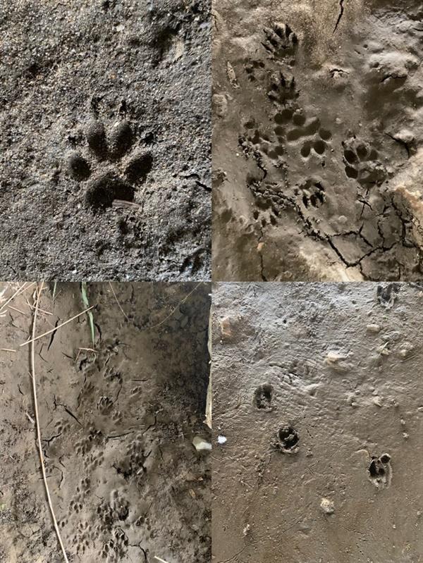 고라니, 너구리, 개와 고양이 등의 발자국이 선명하게 찍혀있다.