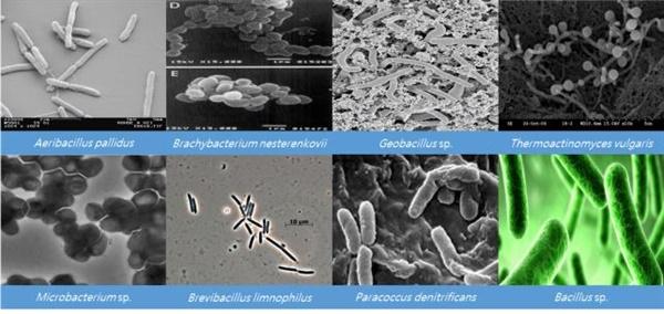 국내 온천, 두엄 등에서 분리된 고온성 원핵생물 신종 및 미기록종의 전자현미경 사진.