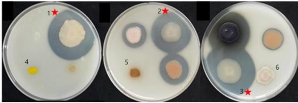 고온성 단백질분해효소 시험. 기본 배지(Marine agar)에 별도로 멸균한 20% skim milk를 2% 농도로 첨가하여 만든 고체 배지에 실험균주를 접종한 후, 60℃에서 7일간 배양한 후, 투명환이 생성되는 정도를 관찰하였음. 1, 바실러스 써모아미로보란스(Bacillus thermoamylovorans); 2, 칼디바실러스 데비리스(Caldibacillus debilis); 3, 애리바실러스 팔리더스(Aeribacillus pallidus); 4, 지오바실러스 이씨기나너스(Geobacillus iciginanus); 5, 지오바실러스 카우스토필러스(Geobacillus kaustophilus); 6, 지오바실러스 스테로써모필러스(Geobacillus stearothermophilus)