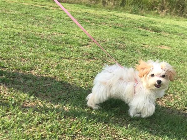 4개월 된 말티푸 강아지, 구름이  여행간 주인을 대신해 잠시 맡게 된 구름이