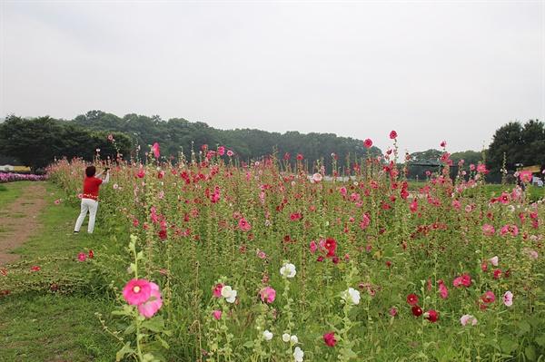경주 동부사적지대 꽃밭단지에 활짝 핀 접시꽃 모습