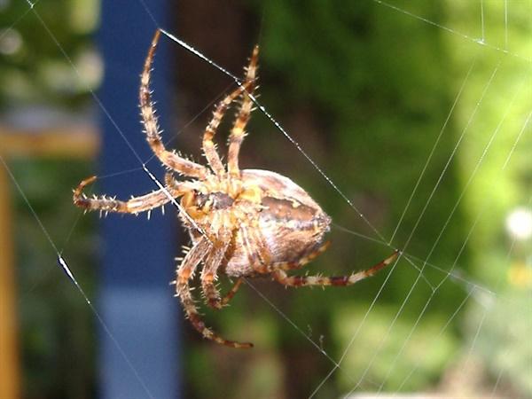 거미가 거미줄을 치고 있다. 거미줄은 그 강도가 같은 무게의 강철보다 강하다.
