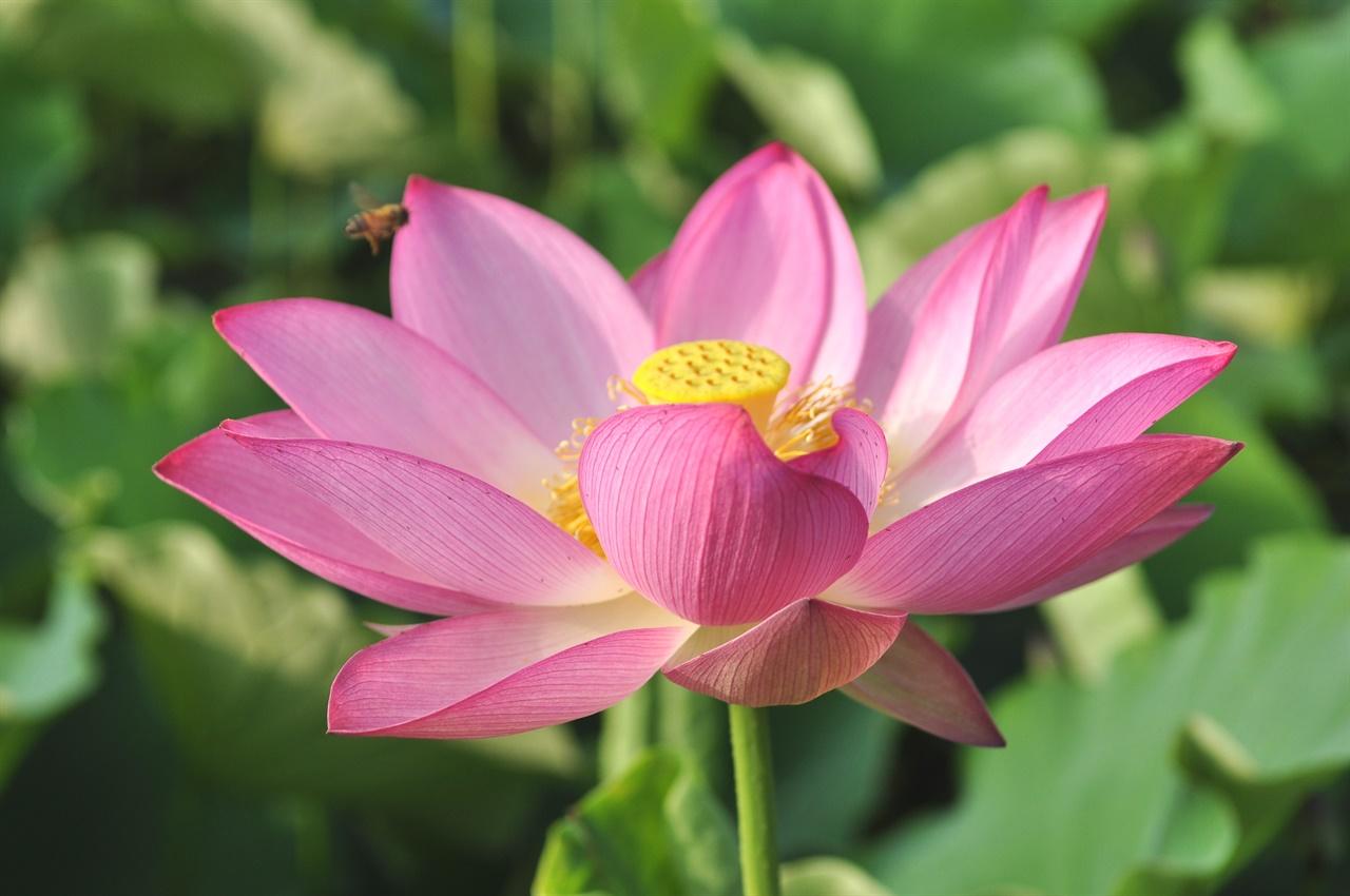 700년의 긴잠에서 깨어난 아라홍련의 모습. 꽃잎 하단은 백색, 중단은 선홍색, 끝은 홍색으로 현대의 연꽃에 비해 길이가 길고 색깔이 엷어 고려시대의 불교 탱화에서 볼 수 있는 연꽃의 형태와 색깔을 그대로 간직하고 있다.