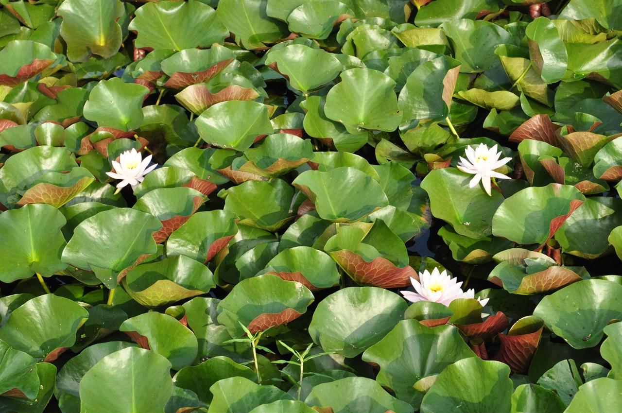 공원 한쪽에 다소곳이 피어있는 수련. 수련은 수면에 가까이 핀다.  홍련보다 꽃잎이 작고 잎이 많으며 연밥이 없다.