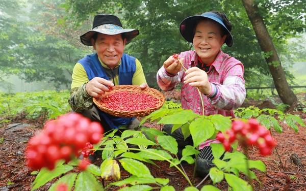 경남 함양군 휴천면 삼봉산 산양삼 채종단지에서 붉게 익은 산양삼 씨 수확이 한창이다.