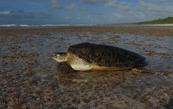 녹색 바다 거북이. 길이 최대 150cm까지 자라며 몸무게는 150kg을 넘는 경우도 드물지 않다.