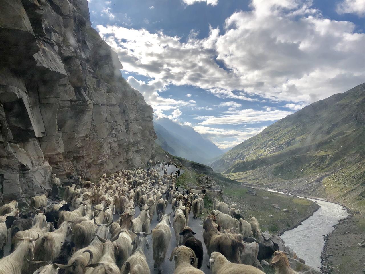 끝없이 이어진 양과 염소 떼의 행렬