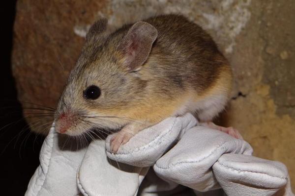 노랑엉덩이 잎귀 쥐. 다 커도 어른 손안에 들어올 정도의 크기이다. 포유류로써 가장 높은 곳에서 서식하는 놀라운 적응력을 보여준다.
