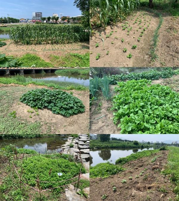 불법경작지. 상추, 파, 옥수수, 콩, 호박, 고추, 고구마 등 다양한 작물이 심겨있다.