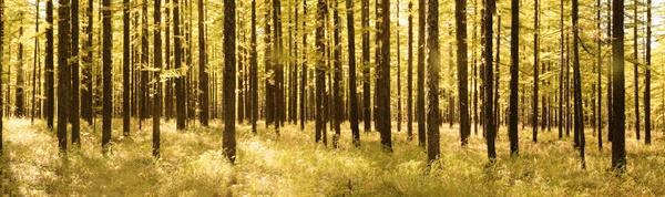 백두 고원 이깔나무