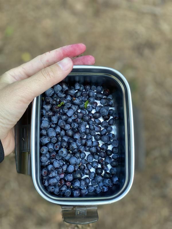 7월의 스웨덴은 블루베리 천국  집 근처 숲에서 손가락이 보라색이 되도록 딴 블루베리