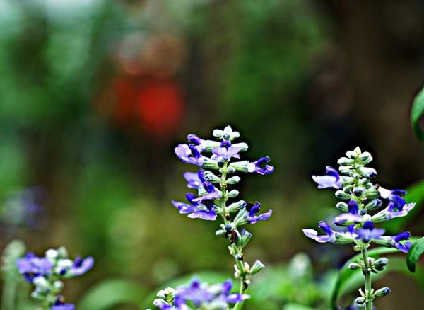 나비정원에서 만난 참골무꽃