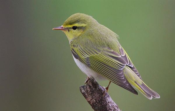 북미에 흔한 개개비. 푸른 날개 개개비와 금빛 날개 개개비의 2종이 사진처럼 혼혈종으로 통합되는 경향이 뚜렷하다.