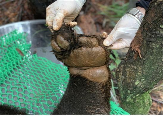 덕유산국립공원에서 미확인 반달가슴곰 포획(창애 피해 추정 왼쪽 앞발).