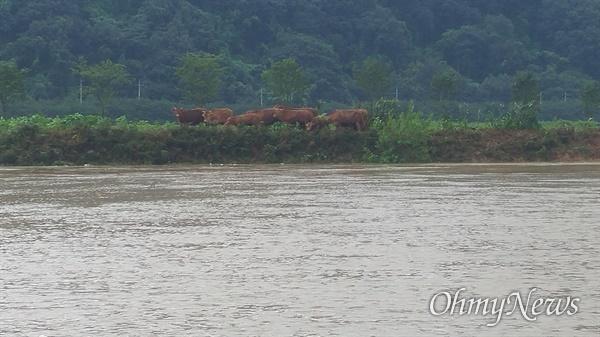 구례군 구례읍 토지면의 한 마을에서 축사가 물에 잠기자 소들이 둑방으로 대피해 있다(사진: 조태용 제공).