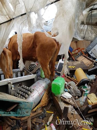 7, 8일 500mm가 넘는 폭우가 쏟아진 전남 곡성군 대평리의 10일 오전 모습. 멜론 농사를 짓던 비닐하우스는 엉망이 되었고 비에 휩쓸려 목숨을 잃은 소떼가 방치돼 있다(사진제공: 독자 이동현님).