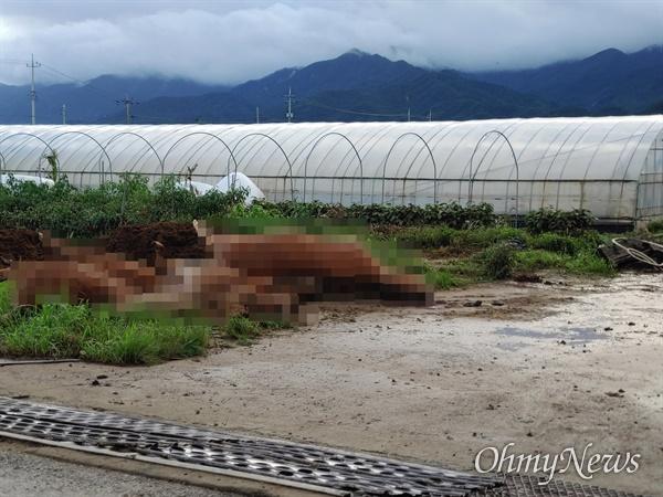 7, 8일 500mm가 넘는 폭우가 쏟아진 전남 곡성군 대평리의 10일 오전 모습. 비에 휩쓸려 목숨을 잃은 소떼가 방치돼 있다(사진제공: 독자 이동현님).