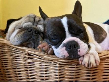 퍼그(왼쪽)와 프렌치 불독. 최근 이같이 '낮은 코' 유형의 개들에 대한 선호가 급격히 높아졌다.