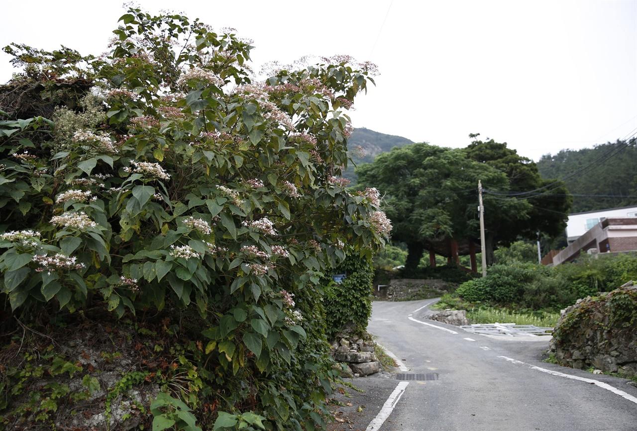 진도 세방마을 풍경. 누리장나무가 하얀 꽃을 피워 마을을 환하게 밝혀주고 있다.