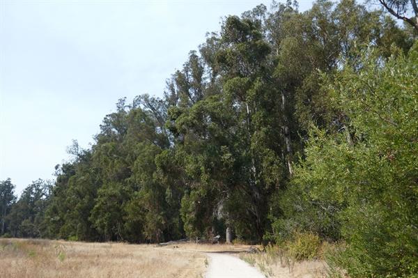 산불 원인이 되는 유칼립투스 나무들  유칼링투스 잎과 수액에는 많은 알코올 성분이 있어 건조하고 무더운 날씨 때 자연 발화되어 산불을 일으키곤 한다.