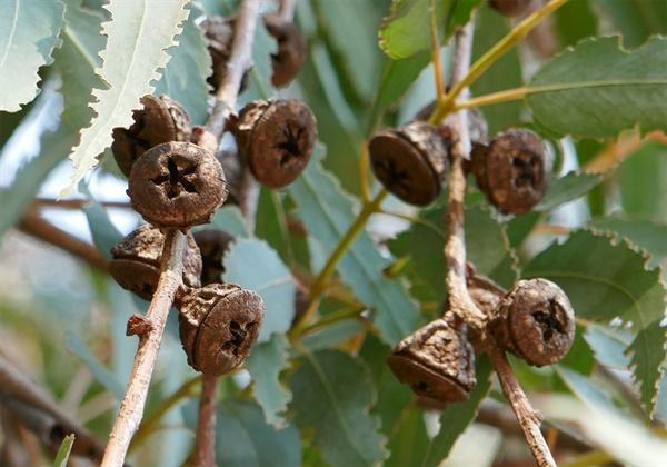 유칼립투스 열매들  유칼립투스 씨앗은 딱딱한 열매 속에 담겨있어서 안전하게 보호되고 산불이 나서 뜨겁게 되면 껍질이 열려 발아한다.