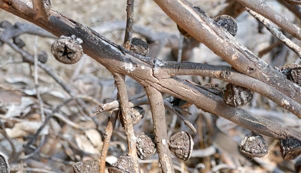 산불이 난 후에도 살아남는 유칼립투스 열매  유칼립투스는 자신의 몸을 태우면서까지 자기 후손들의 경쟁자를 없애버리면서 생존을 이어가도록 진화되어 왔다.