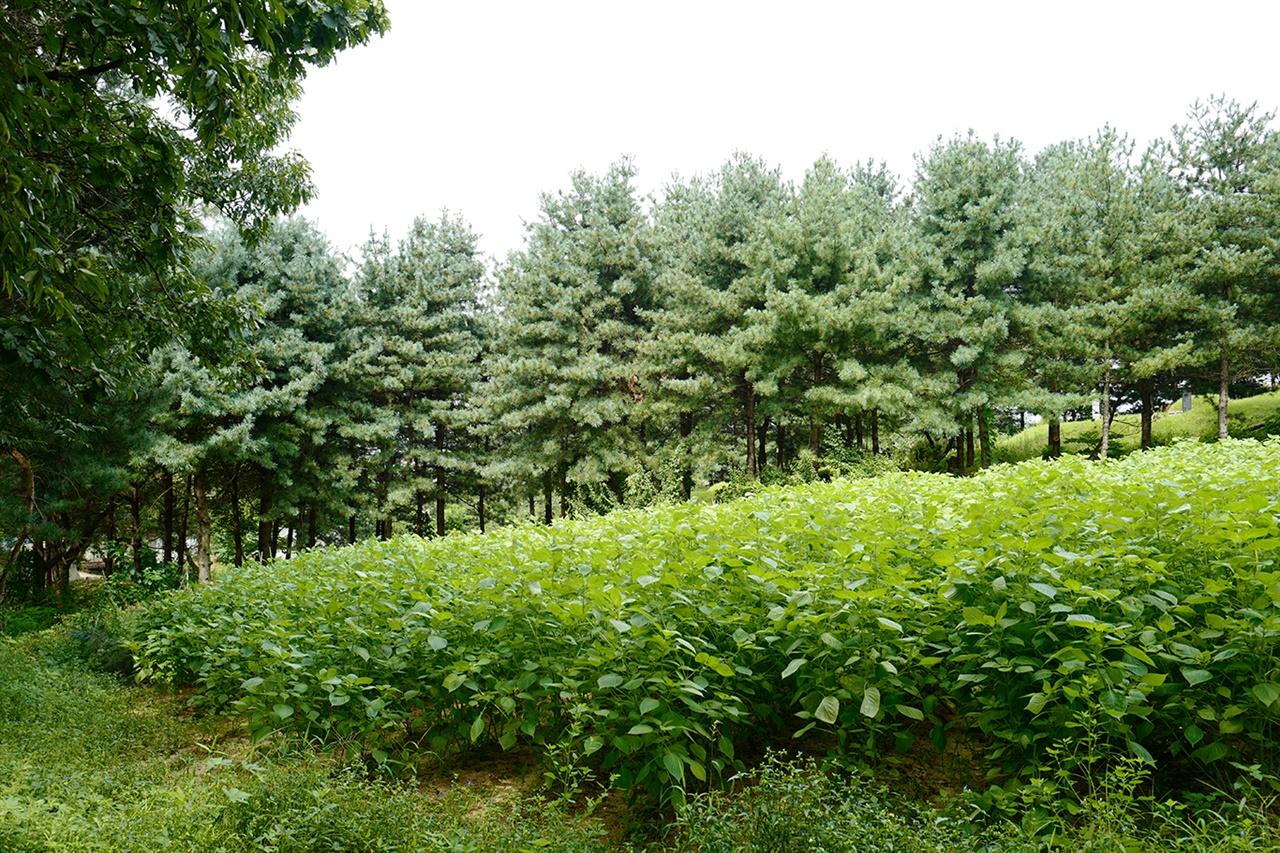우리집 들깨밭  우리 가족은 아버지 산소 옆 작은 텃밭에 해마다 들깨를 심는다.