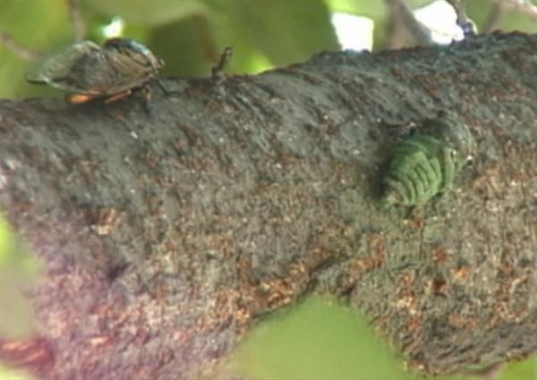 푸른 곰팡이로 뒤덮인 매미 사체 생태다큐멘터리 '매미, 여름 내내 무슨 일이 있었을까'(감독 박성호, 98분, 2011) 중에서