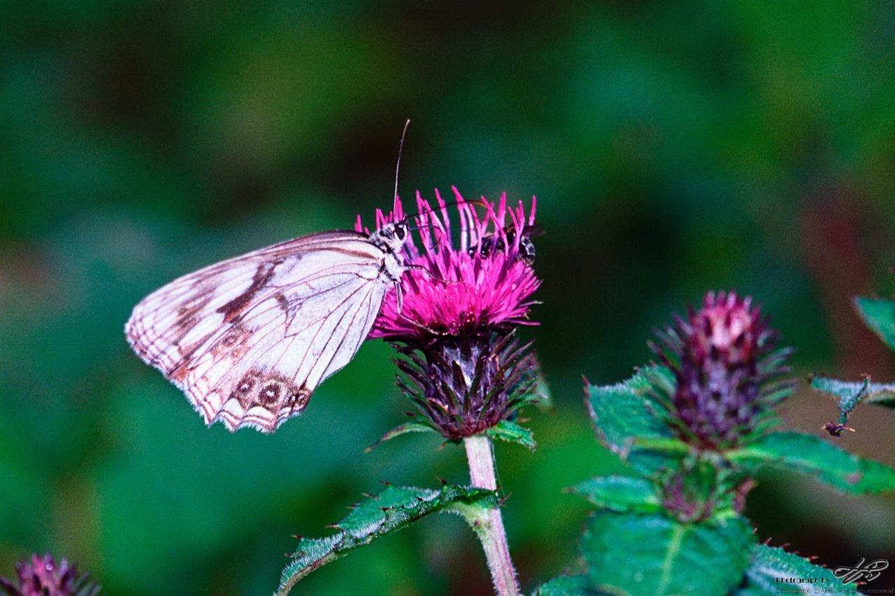 엉겅퀴와 나비 (Ektar100)