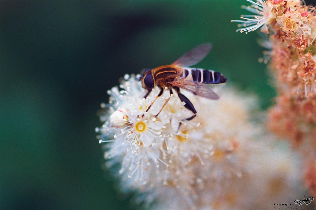 흰숙은노루오줌 (Ektar100)구린내가 난다는데, 여기저기서 갖가지 곤충들이 작은 꽃들을 헤집고 있었다.