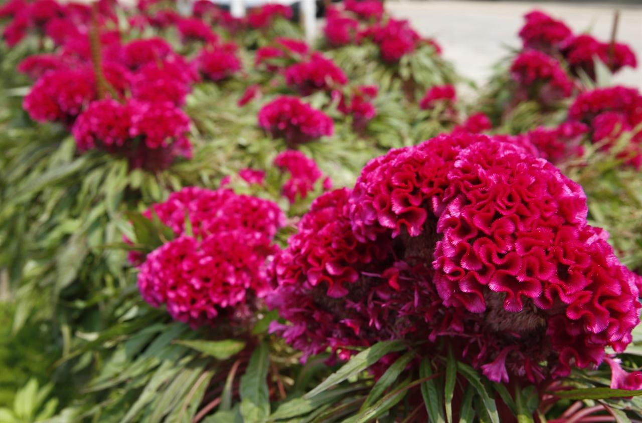 탐스럽게 핀 맨드라미 꽃. 오래 전 봉숭아, 채송화와 함께 우리네 장독대와 돌담 주변을 장식했던 꽃이다.