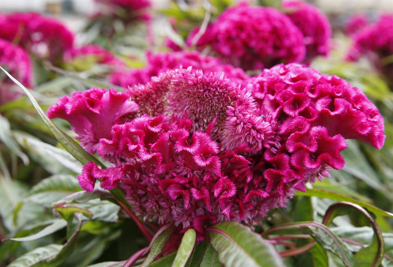 맨드라미 꽃. 자세히 보면, 꽃 하나하나가 벌집처럼 생겼다. 이리저리 구불구불한 것이 닭의 내장처럼 보이기도 한다.