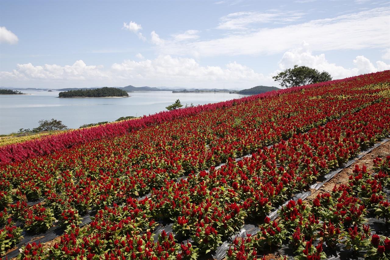 바다를 배경으로 조성된 병풍도의 맨드라미 꽃동산. 구릉이 온통 빨갛게 물들어 황홀경을 연출한다.