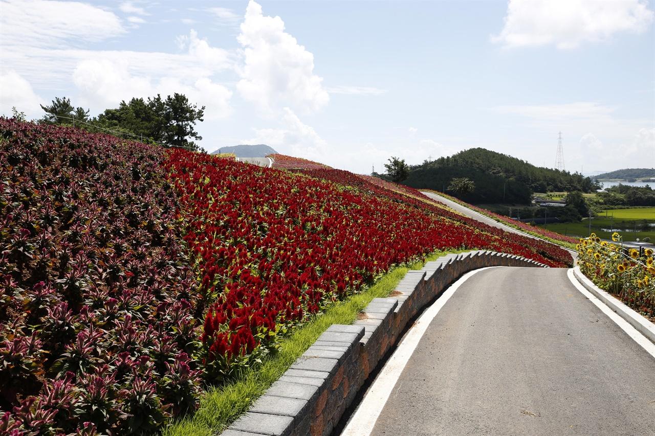 병풍도 주민들은 올해 맨드라미 꽃축제를 위해 꽃밭을 단장하고 관광객 편의시설도 만들었다. 하지만 계속되는 코로나19 탓에 축제를 취소했다.