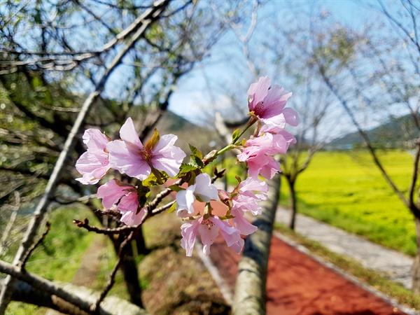 9월 20일 경남 의령군 가례면 자전거도로에 핀 벚꽃.