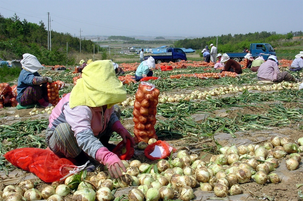 해마다 봄이면 양파 수확으로 분주한 무안 들녘. 전남 무안은 우리나라를 대표하는 양파 주산지다.