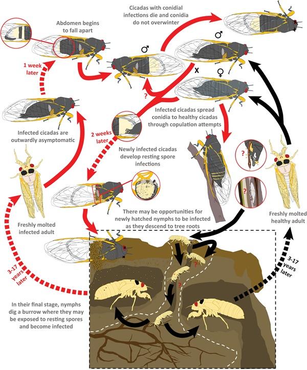 좀비매미 연구에 발표된 감염 경로  이번에 발표된 연구결과 'Behavioral betrayal: How select fungal parasites enlist living insects to do their bidding'애 나오는 설명에 따르면 다양한 경로를 통해 감몀이 될 수 있다.
