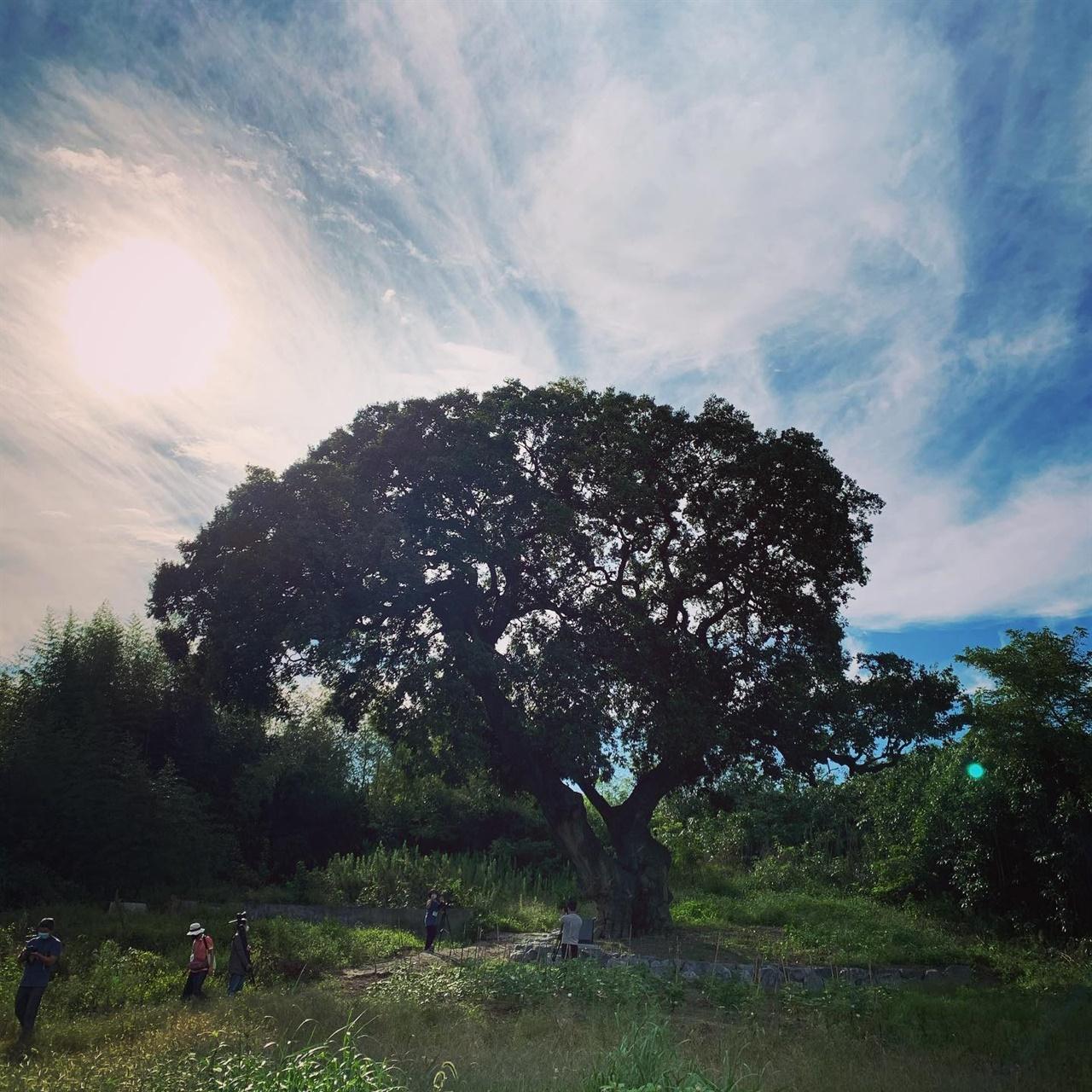 600년을 지켜온 팽나무 미군 공여지가 된 하제마을에 있는 보호수 팽나무. 수령이 600여년 된 보호수지만 보호를 받지 못하고 언제 잘려나갈지 모른다