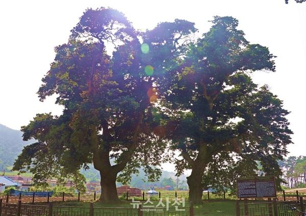 관매도 마실길을 가다보면 천연기념물로 지정된 후박나무 두 그루를 볼 수 있다.