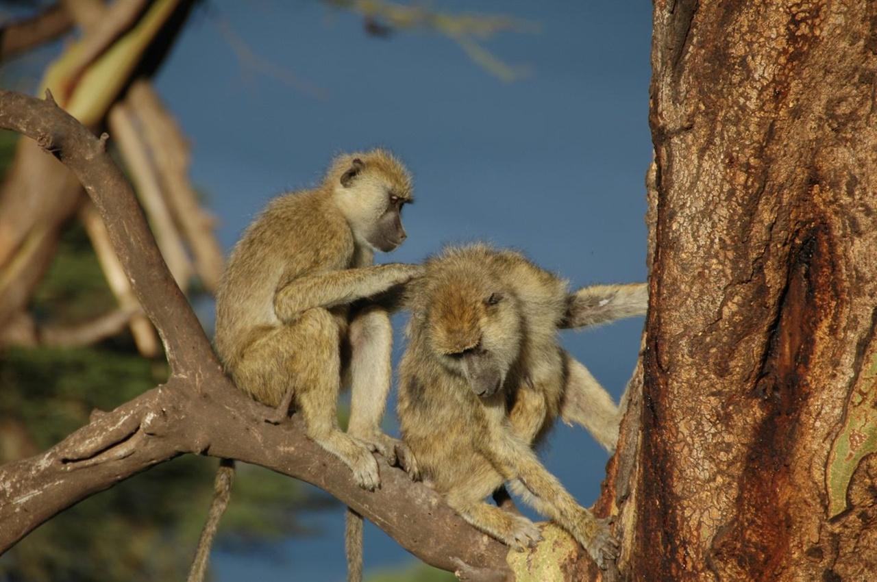 친구의 털을 그루밍하는 노랑 개코 원숭이. 털을 다듬고 진드기 등을 잡아주는 그루밍은 개코 원숭이들에게 유대감을 확인하는 기분 좋은 시간이다.