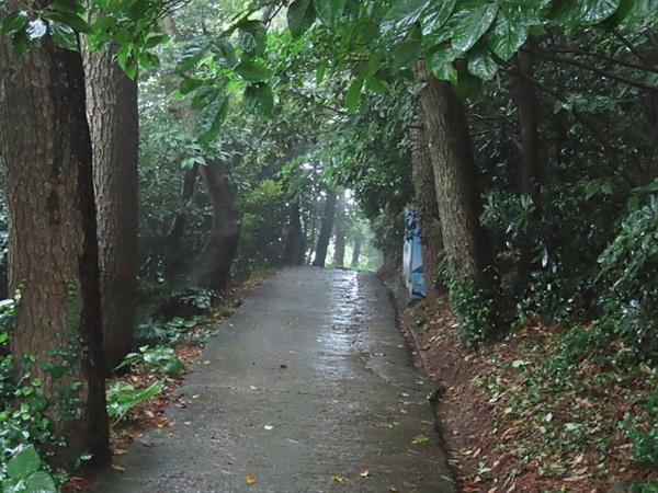 지심도의 동백숲