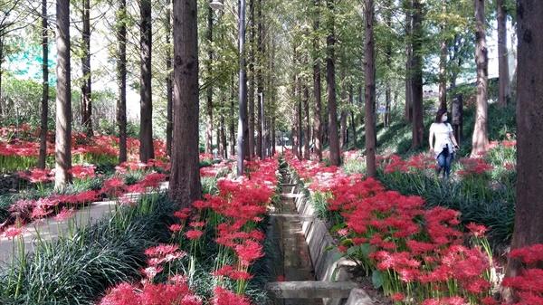 광주광역시 북구 문흥동에 있는 '문화소통길'에 가을의 전령사, 꽃무릇이 활짝 폈다
