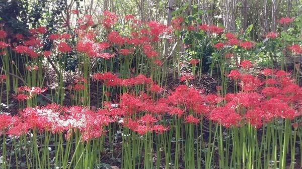 가냘프면서 화려한 붉은 꽃이 강렬한 인상을 주고 있다