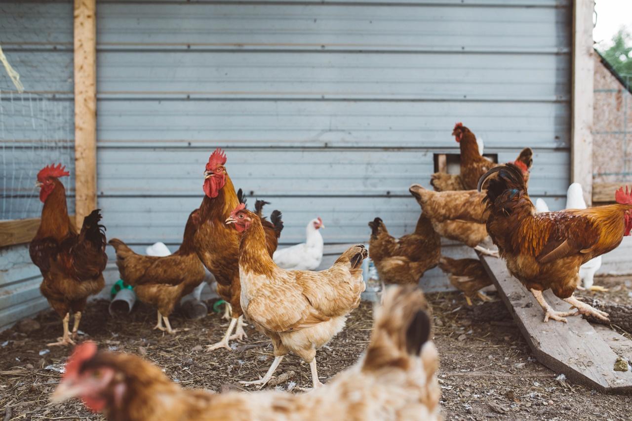 내가 나고 자란 바닷가 마을에서 달걀은 키우는 닭에게 얻거나 옆집에서 나눠주는 음식이었다.