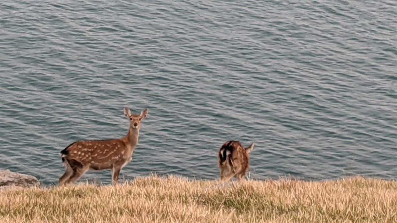 개머리초원의 사슴 떼 보기에는 평화로워 보이나 굴업도의 풀숲이 사라지는 원인이다