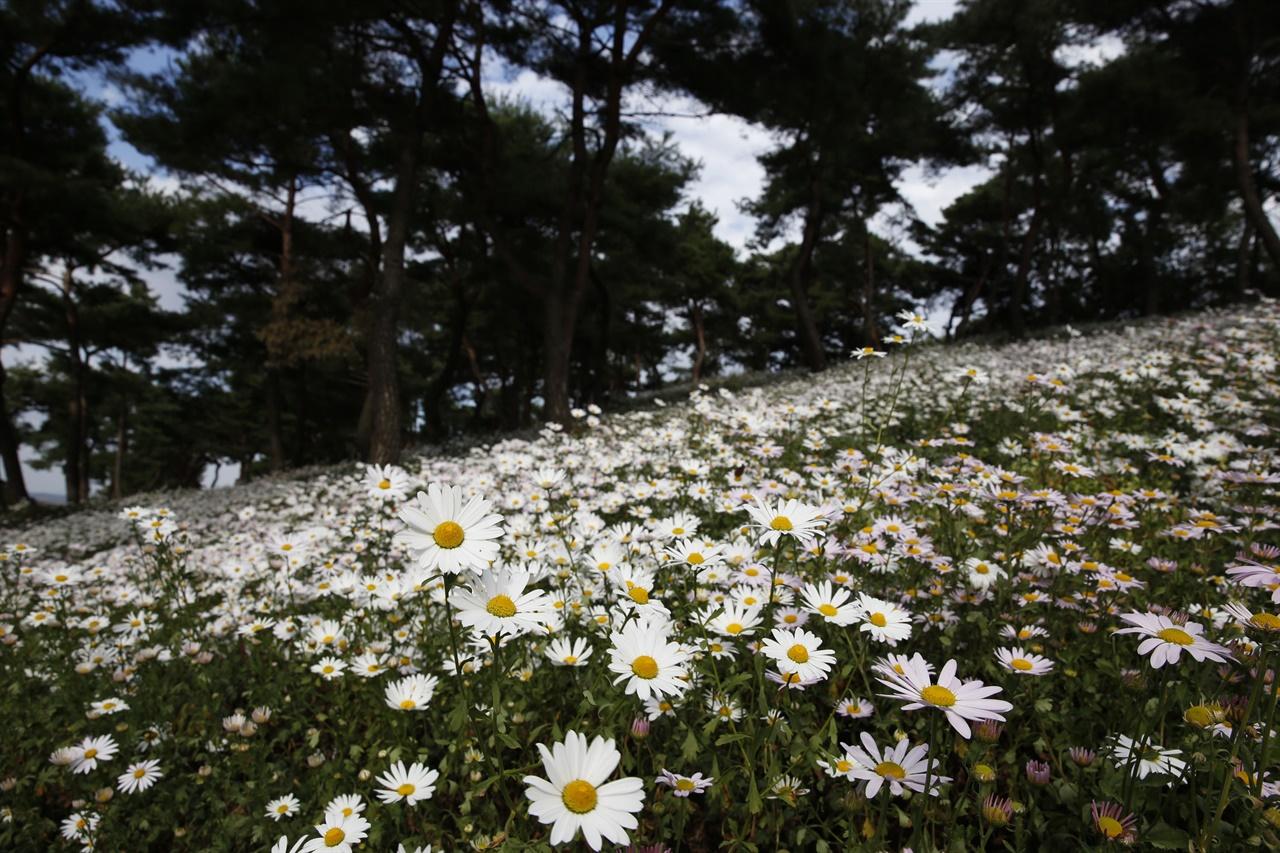 곡성 충의공원에 활짝 핀 구절초꽃. 지난 10월 11일 풍경이다.