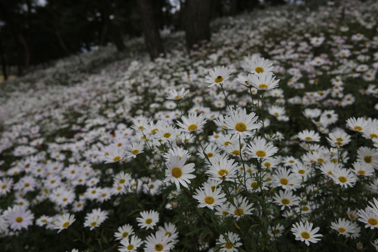 곡성 충의공원에 활짝 핀 구절초꽃. 지난 10월 11일 오후 모습이다.